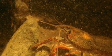 Dr. Lee Kats Discusses the Invasive Red Swamp Crayfish | 89.3 KPCC