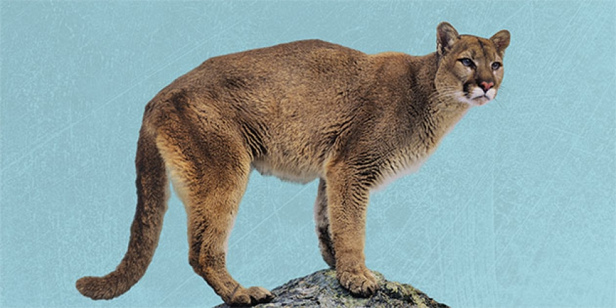Mountain Lion Watch - Pepperdine Magazine