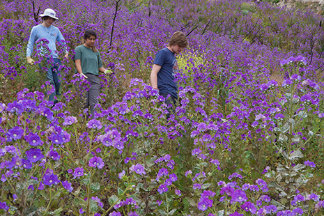 Three student researchers walking through bright purple blooms on hillside.